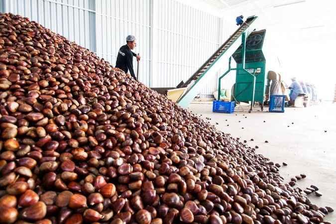 Kestane ihracatından 50 milyon dolar hedefleniyor