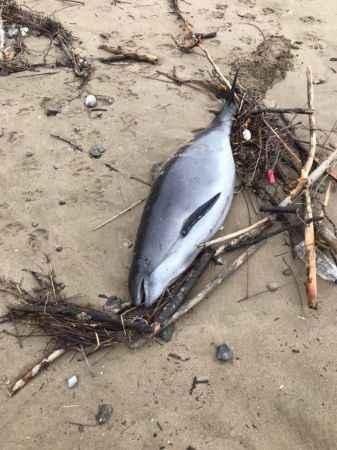 Ölü yunus balığı sahile vurdu