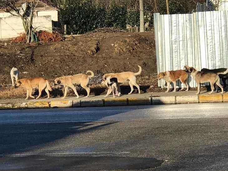 ''Başıboş köpekler yüzünden okula çocuklarımızı götüremiyoruz''