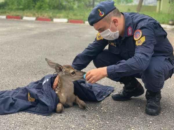 Bolu'da, jandarma ekipleri yorgun düşen yavru geyiği elleri ile besledi
