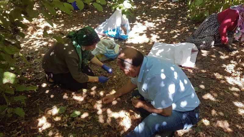CHP'li kadınlar fındık topladılar