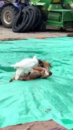 Düzce'de kaz ile köpeğin örnek arkadaşlığı