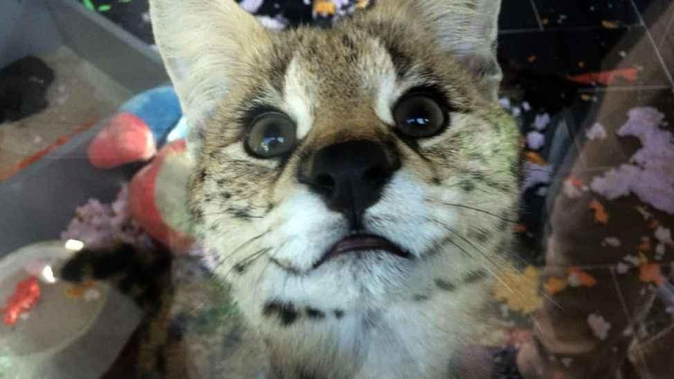 Sapanca'da vahşi kedi operasyonu! Değeri tam 150 bin TL