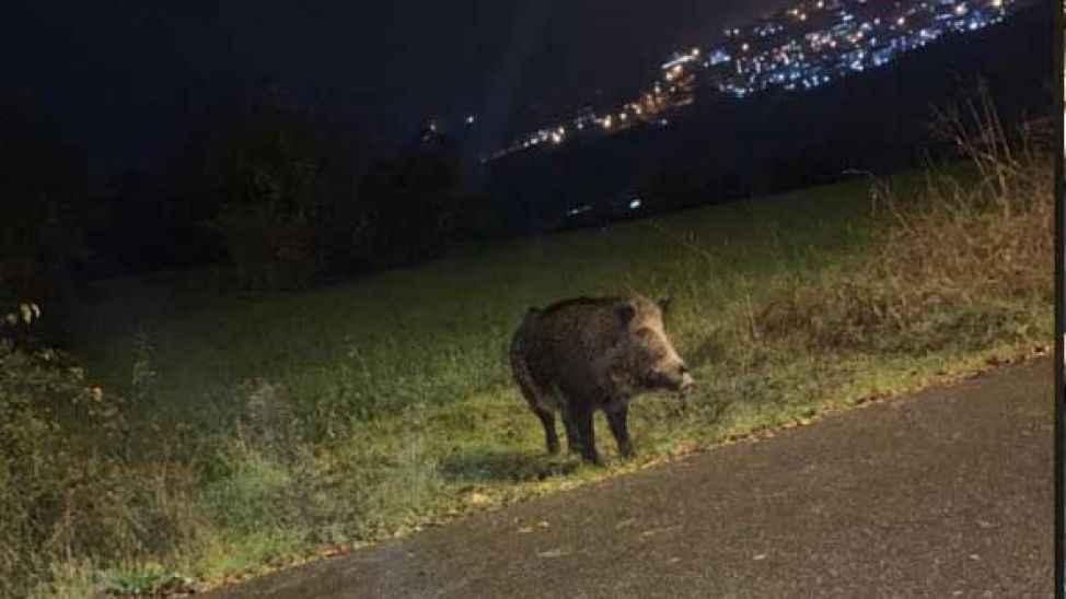 Serdivan'da domuz endişesi.. Peki karşısına domuz çıkarsa ne yapmanız gerek