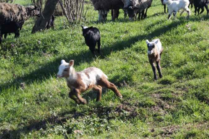 Sakaryalı pide ustası salgın sürecinde koyun yetiştiricisi oldu