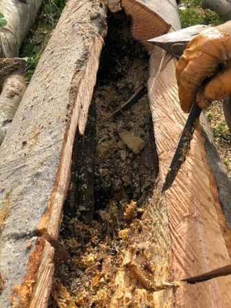 Çürümüş ağaç kovuğunda bal buldu