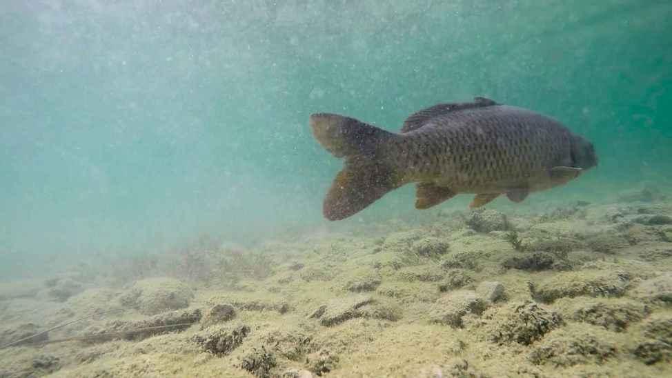 Bugün itibariyle sazan balığının avlanması ve satılması yasak