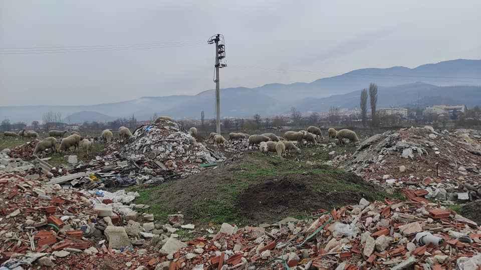 Pamukova da bir mera!     Koyunlar yeşilliklerde değil çöp dağında otluyor