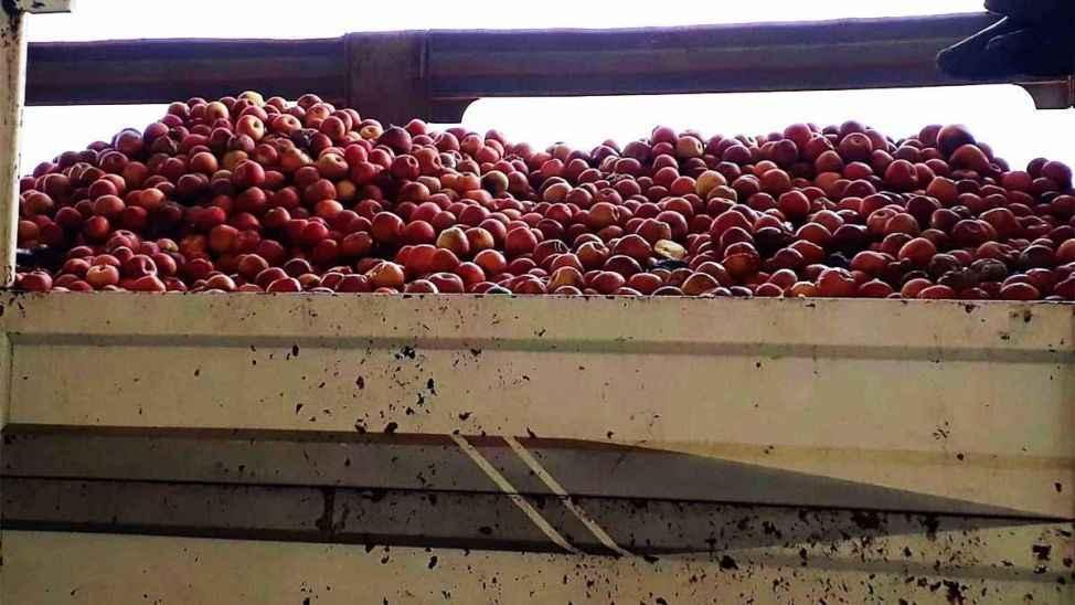 Geyve'de elma depoda kaldı! Üretici ve depo işletmecisi perişan oldu