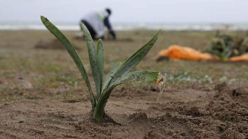 Sakarya'da arsa ve inşaat alanlarında çıkan kum zambakları doğal ortamına taşındı