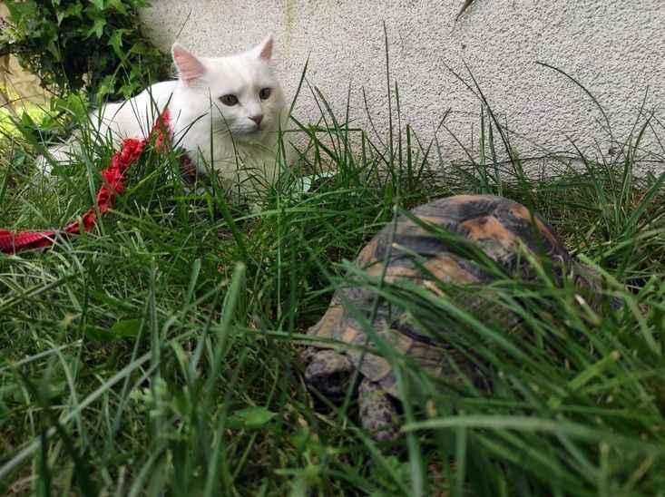 Kaplumbağa gören Van kedisi şaşkınlığını gizleyemedi