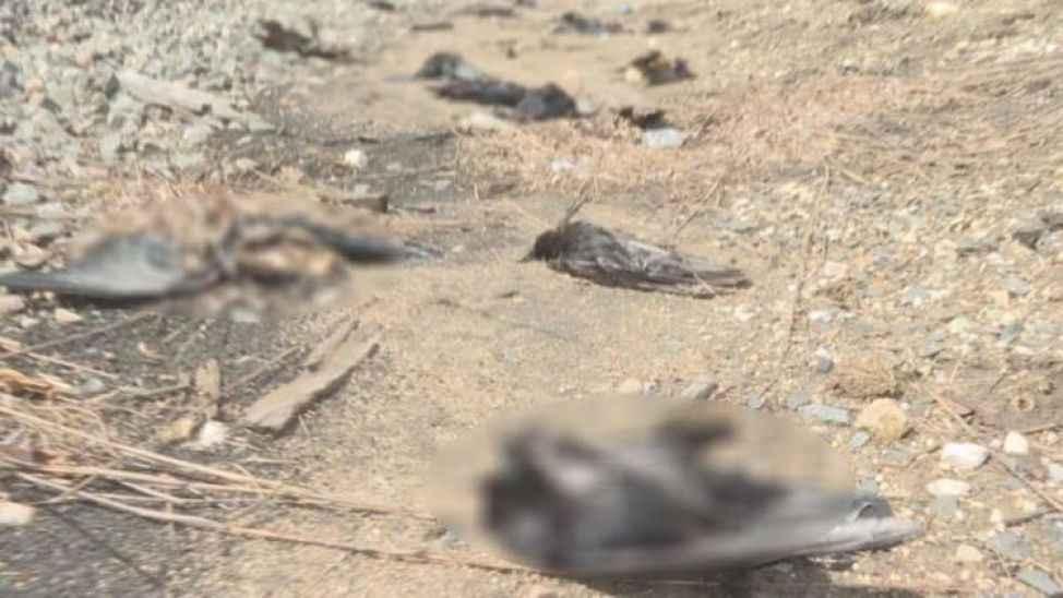 Eyvah! Komşuda ölen 8 kargada Batı Nil Virüsüne rastlandı!