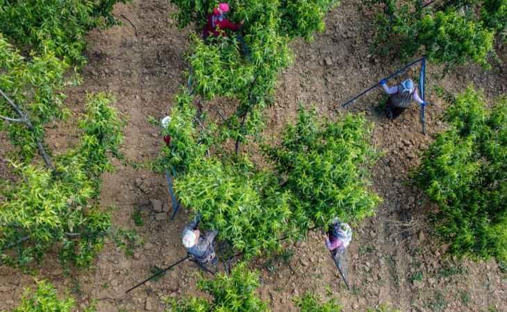 """Şeftali üreticisi kaliteyi artırmak için ağaçlarda """"tekleme"""" yapıyor"""