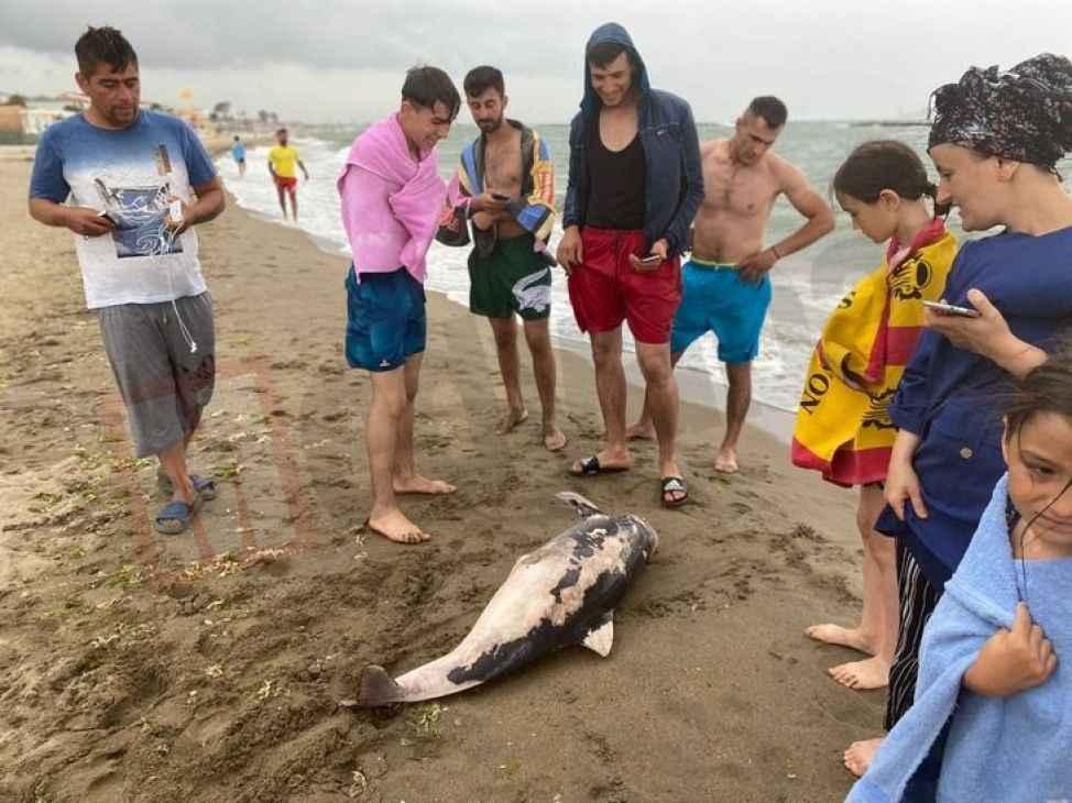Karasu'da ölü yunus balığı karaya vurdu