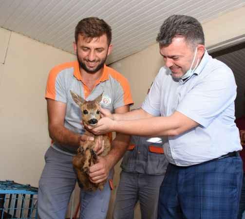 Karasu'da fındık bahçesinde bulunan yavru karaca, Milli Parklara teslim edildi