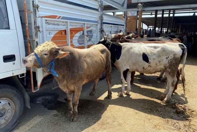 Sakarya'da hayvan pazarındaki kurbanlıklar alıcılarını bekliyor