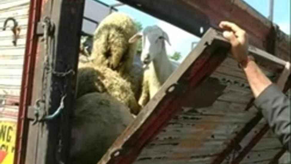 Satamadığın hayvanlarını ben alayım dedi... Kamyonete yükleyip kaçtı!