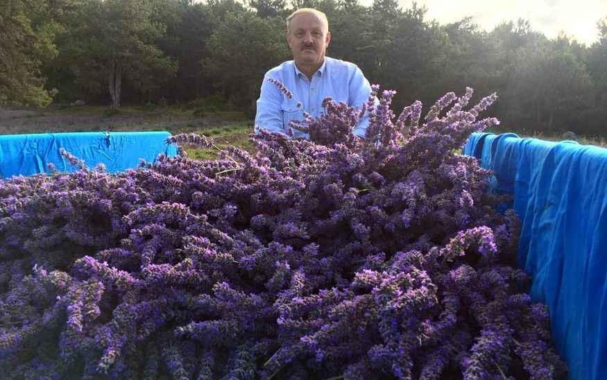 Pamukova'da Lavanta hasadı yapıldı... Yağının kilosu 40 Euro!