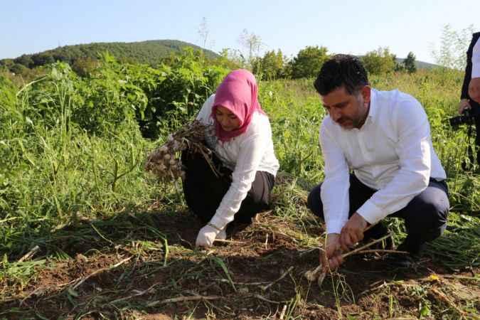 AK Partili Çiğdem Erdoğan Atabek şalvar giyerek sarımsak hasadına katıldı