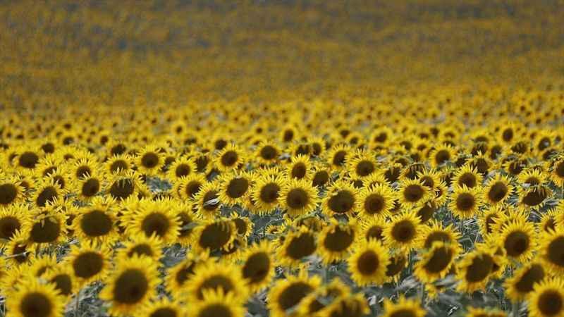 İklim değişikliği Trakya'da buğday ve ayçiçeğini tehdit edecek