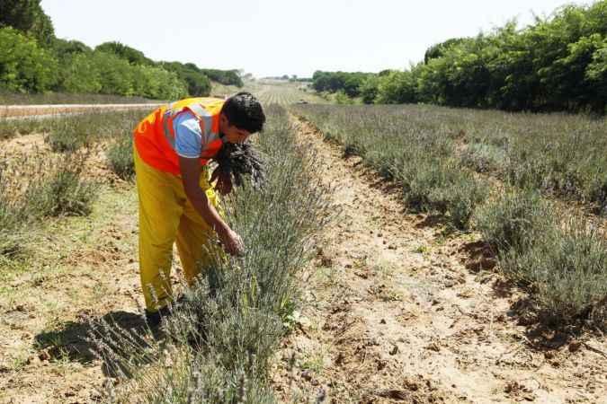 Sakarya'da yüzlerce çeşit bitkinin her gün hasadı yapılıyor