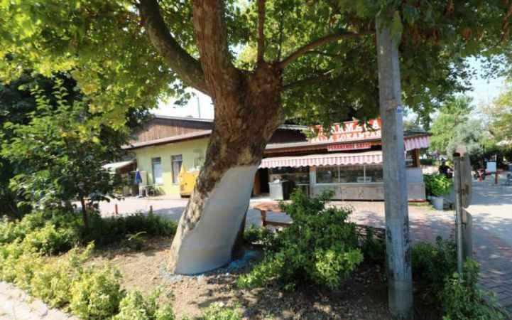 Kocaeli'de asırlık ağaçlar bakımda