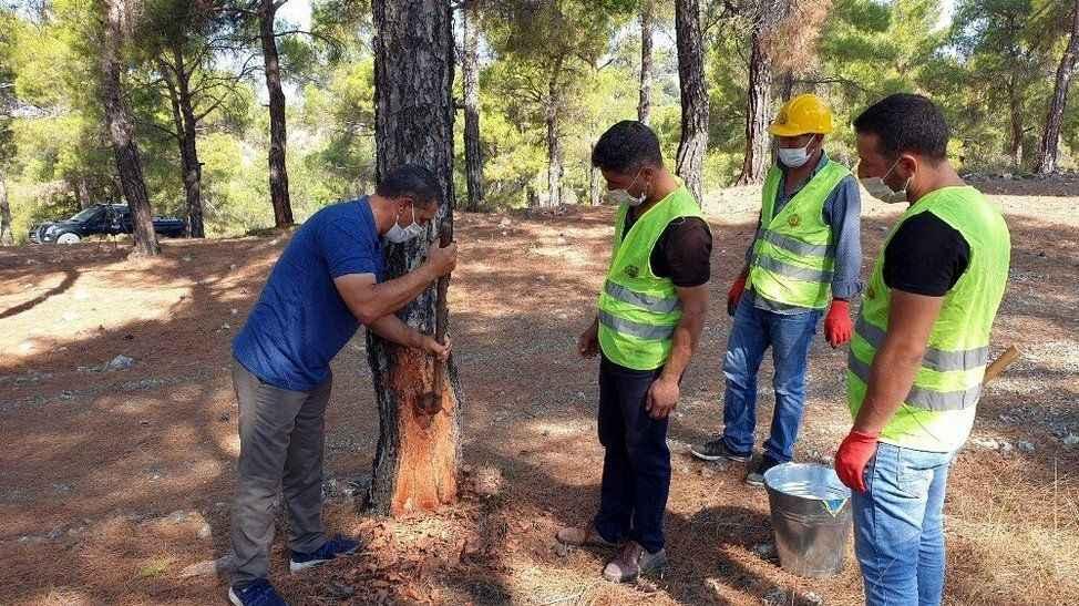 Ormanlardan elde edilen çam reçinesi ekonomiye katkı sağlıyor