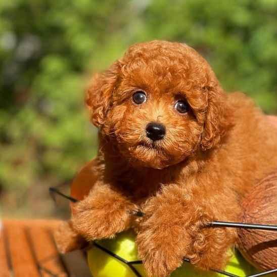 Dünyanın en keskin zekaya sahip köpeği Toy Poodle