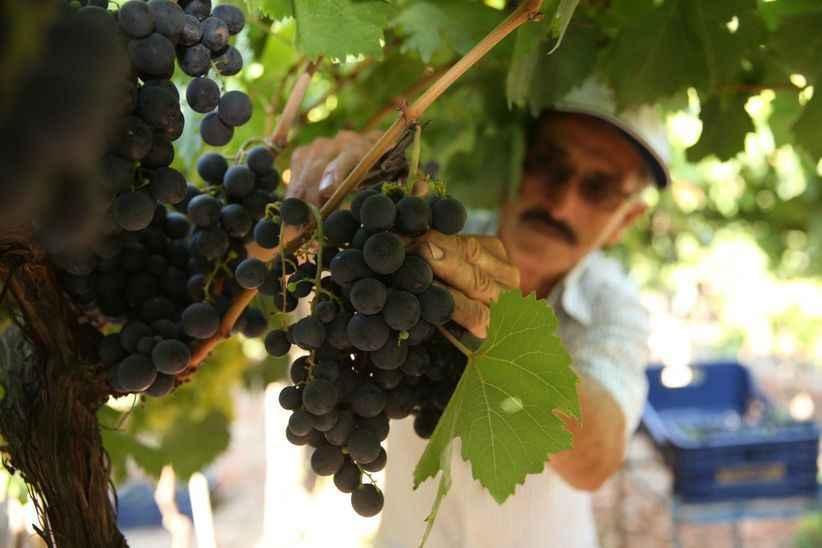 Pamukova'da hasadına başlanan 8 çeşit üzümde 60 bin ton rekolte bekleniyor