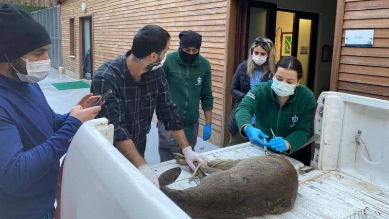 Köpeklerin yaraladığı karaca Ormanya'da tedavi altına alındı