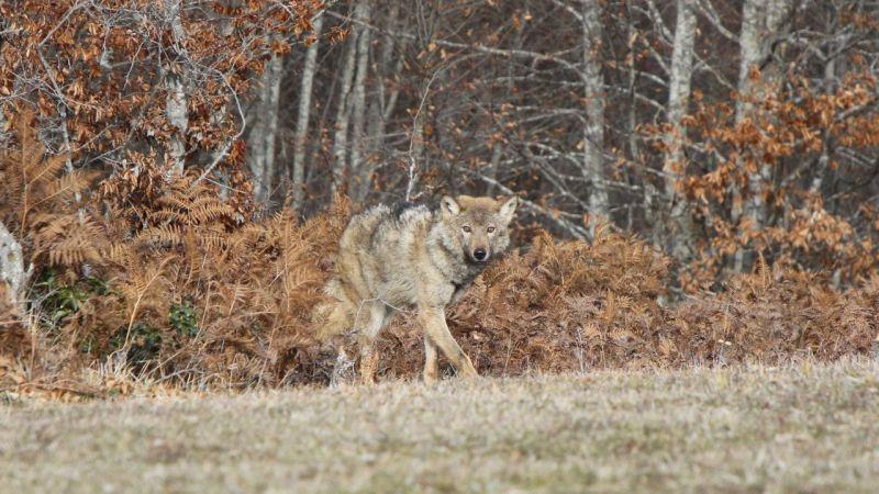 Ormanya'da tedavisi tamamlanan kurt doğaya salındı