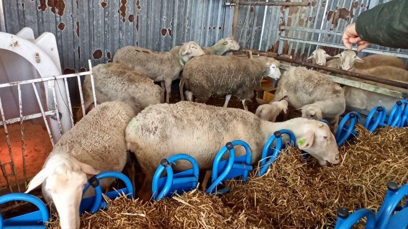 Kocaeli'de koyunu emen buzağı görenler şaşırıyor