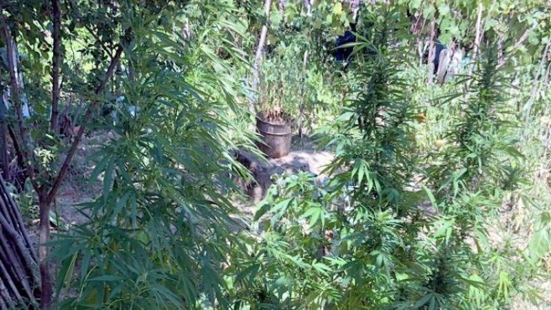 Kocaeli'de bahçesinde kenevir yetiştiren şüpheli gözaltına alındı