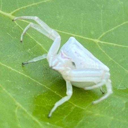 Aydın'da insan yüzlü örümcek