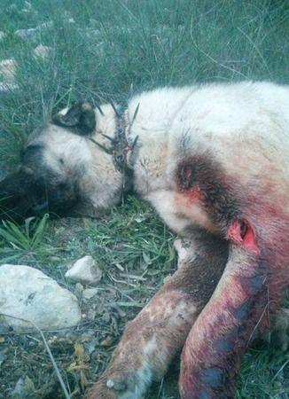 Bozdoğan'da domuzlar köpeği ağır yaraladı