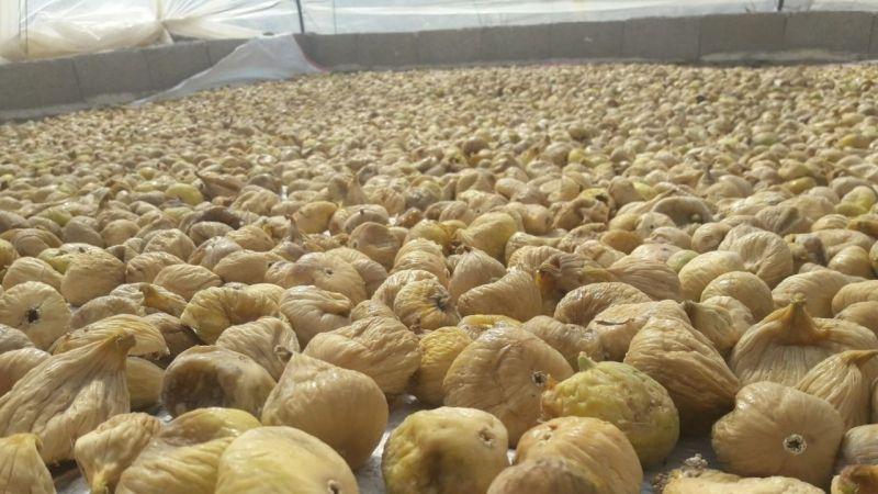Kuru incir yüzde 15 değerlendi