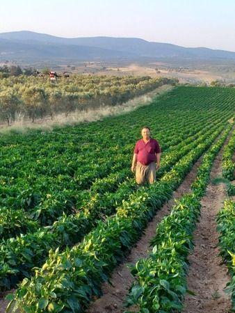 Karacasu'da biber hasadı