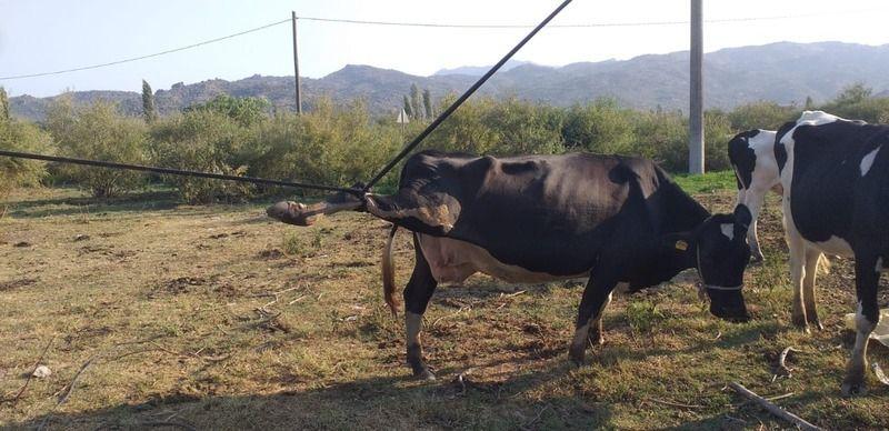 Karpuzlu'da zavallı ineği gören bir daha baktı