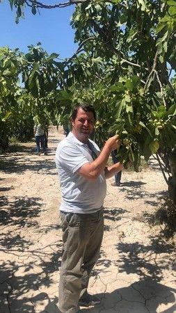 Aydın'da incir hasadı başladı