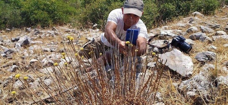 'Aydın Ölmez Çiçeği' korunmayı bekliyor