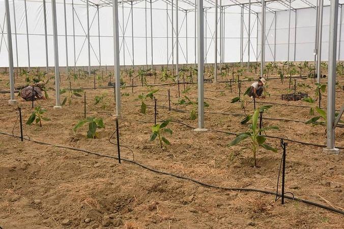 Aydın'da tropikal meyve üretimine yenisi eklendi