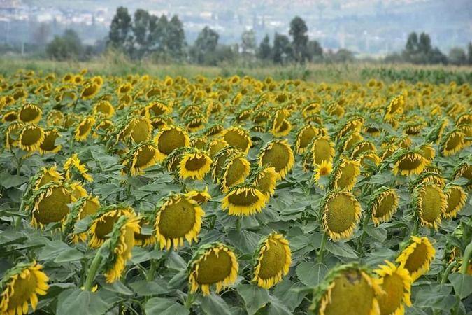 Aydın'da ayçiçeği üretimi yüzleri güldürdü