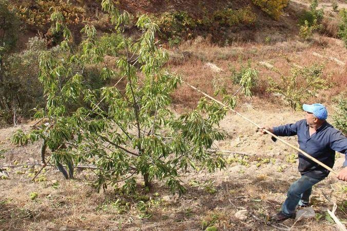 Aydın'da kestane hasadı
