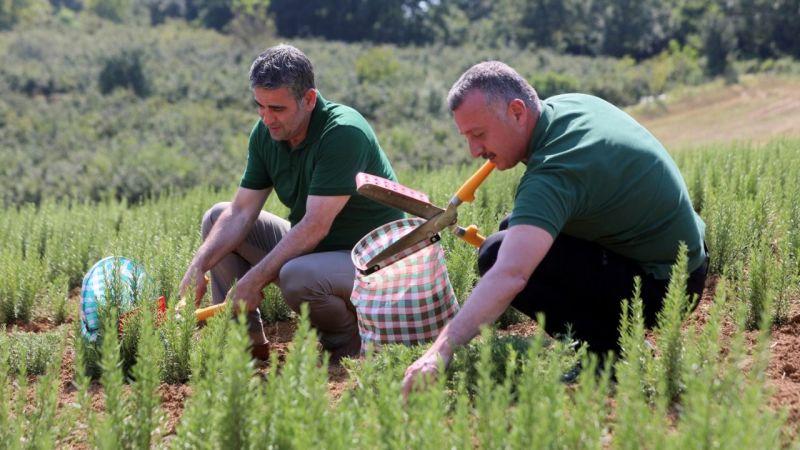 Kocaeli'de dikilen 2,6 milyon biberiyenin hasadına başlandı