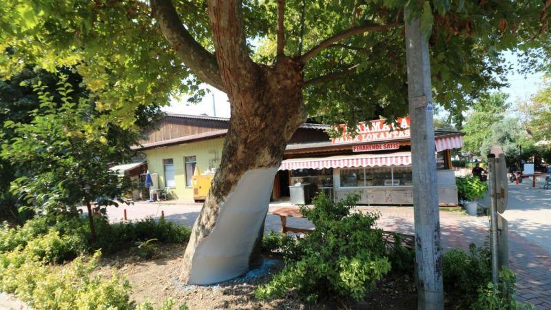 Asırlık çınar ağaçlarının bakımı ve tedavisi yapıldı