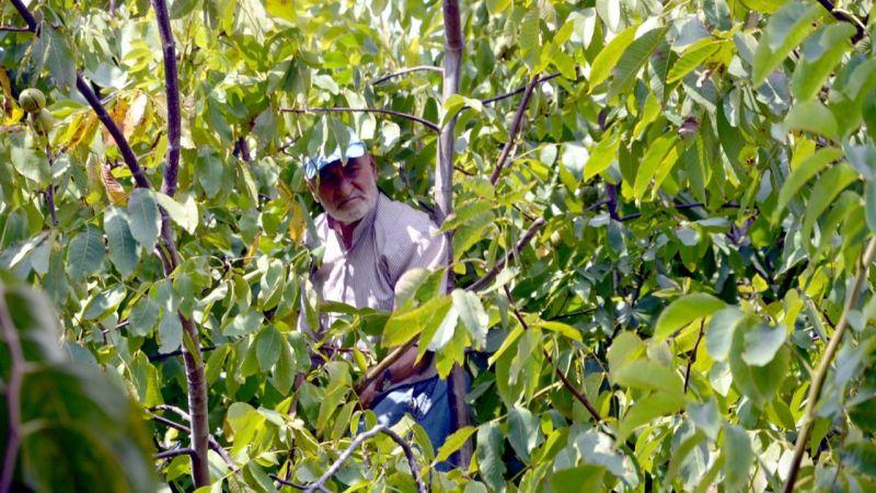 """85 yaşındaki Halit dede hem yetiştiriyor hem de kendi topluyor: """"Çok zor bir iş ama keyifle yapıyorum"""""""