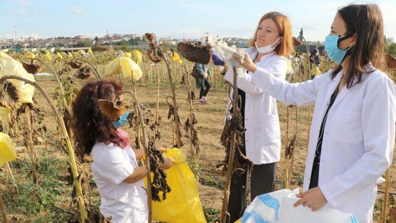 GTÜ'de sürdürülebilir tarım çalışmasında ayçiçeği hasadı yapıldı