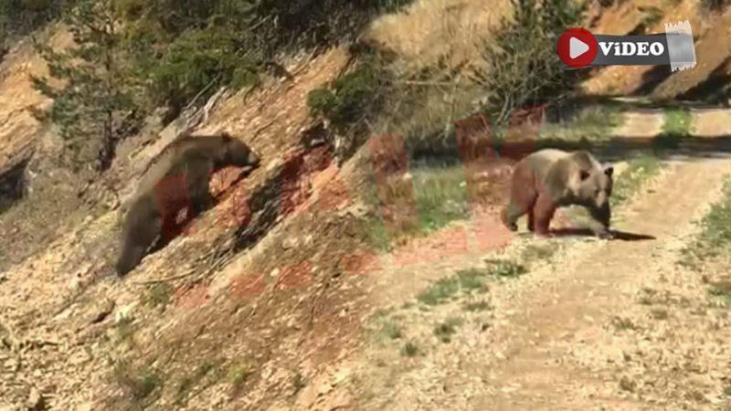 Boz ayı Pamukova'da ilk defa bu kadar yakından görüntülendi!