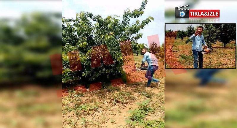 """Komşuda """"3 liraya kiraz yok """" diyen üretici bin 500 ağacı kesti..!"""