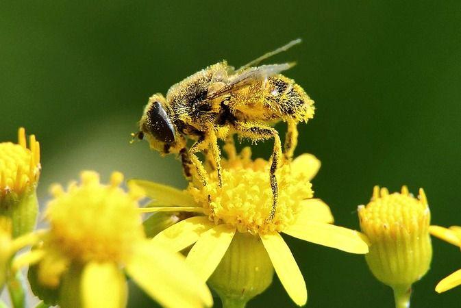 Pamukova'da bitkisel üretimde arı kullanımının yaygınlaşması için eğitimler verilecek